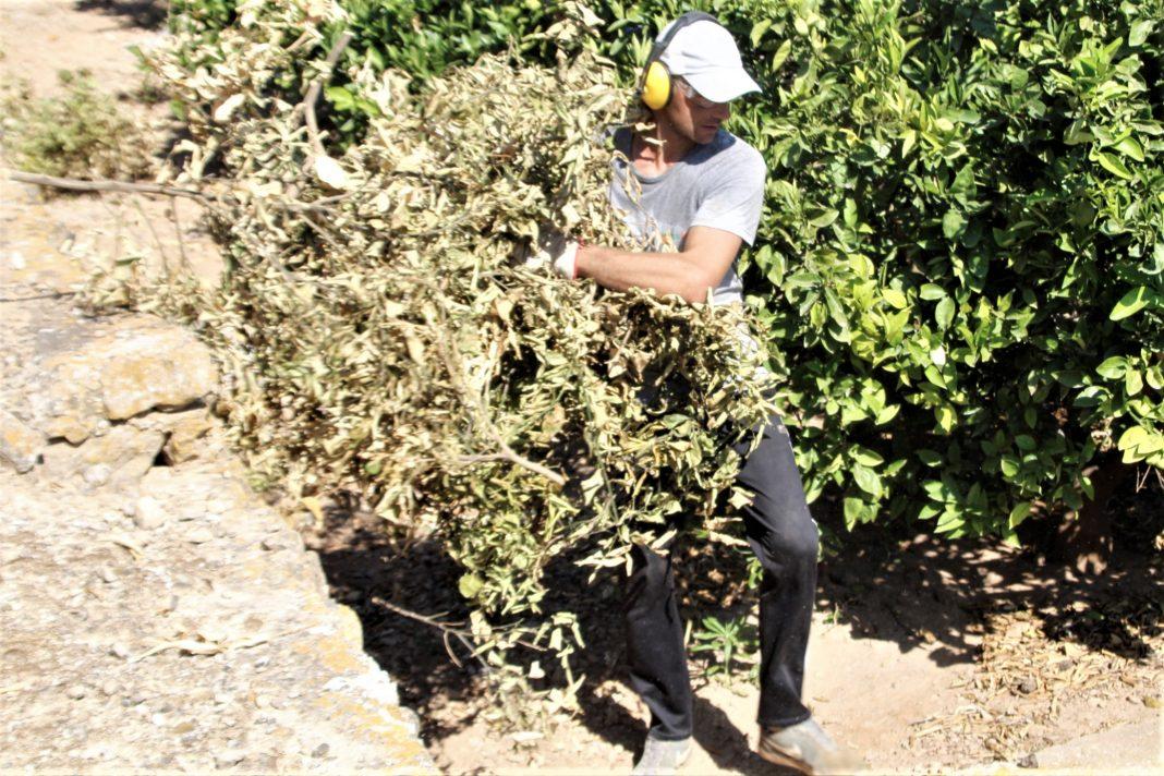 Crema poda taronger 1 - Alzira Radio notícies d'Alzira