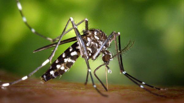 mosquito tigre aedes albopictus 1508777272275 - Alzira Radio notícies d'Alzira