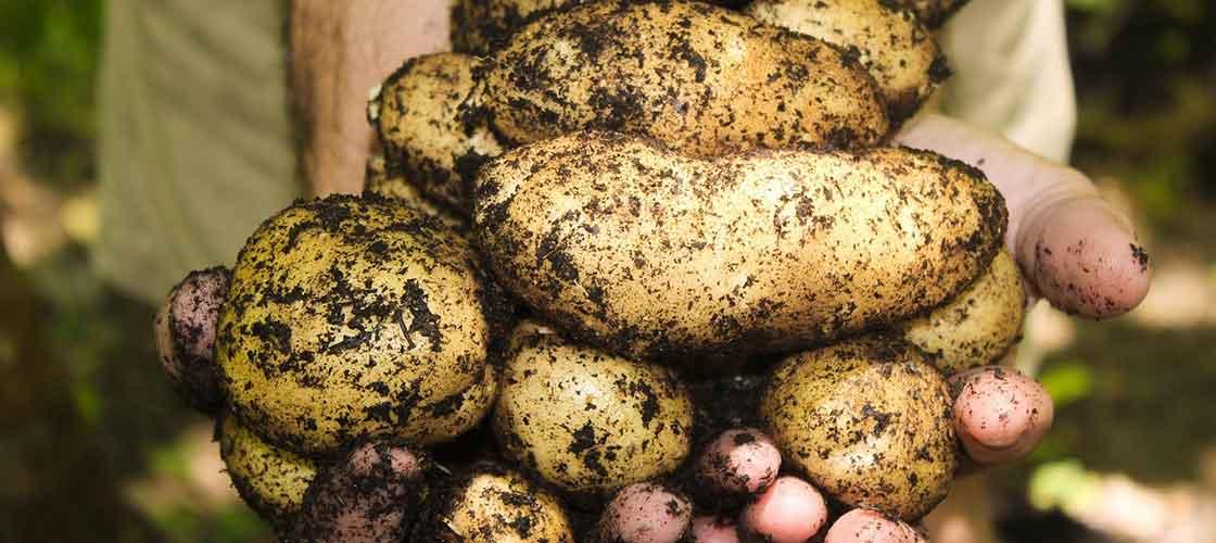 patata i cebolla ok - Alzira Radio notícies d'Alzira